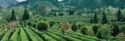 印江梵净山净团茶业