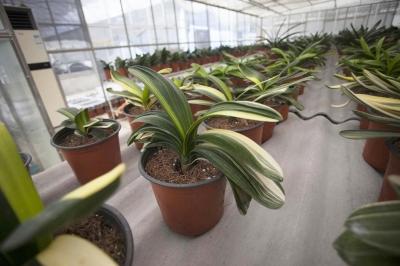 君子兰智能温室基地华东最大 每年可产100万株君子兰种苗