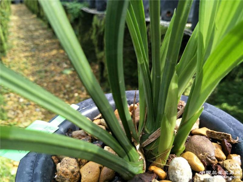 在栽培中发现并证实品种有误的可做退换处理